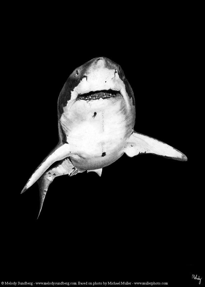 great_white_shark_melody_sundberg